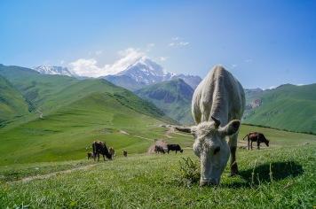Krowy pod Kazbekiem